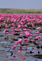 mar de lótus rosa, nong han, udon thani, tailândia