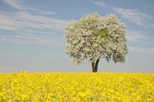 campo de colza com árvore florescendo