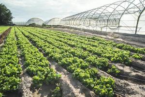 campo de plantação de alface foto
