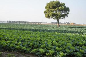 campo de alface na costa da Apúlia foto