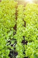 linhas retas de salada na cama do jardim em dia de sol foto