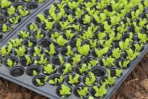 planta pequena de alface saudável foto