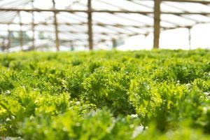 hidroponia vegetal foto