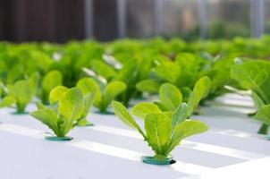 hidropônico vegetal na fazenda foto