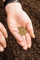 cenoura, sementes, em, a, palma mulher, sementeira, idéia