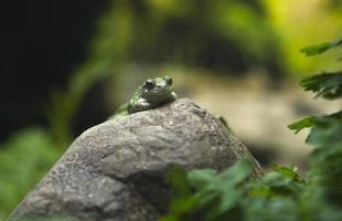 sapo verde na rocha foto