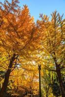 árvores de gingko