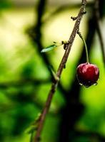 Árvore de cereja foto