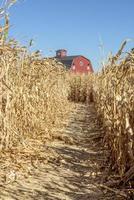 trilha de labirinto de milho e celeiro vermelho foto