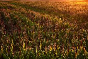 luz solar impressionante sobre o milho
