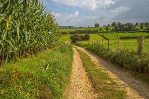 milho crescendo em um campo no verão