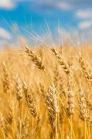 campo de trigo, colheita fresca de trigo
