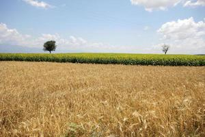 trigo e girassol