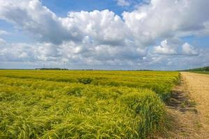 trigo crescendo sob um céu nublado na primavera