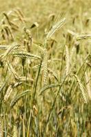 closeup de orelhas de trigo