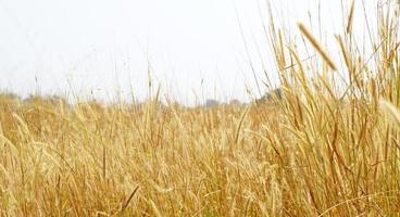 maduras espigas de trigo amarelas foto