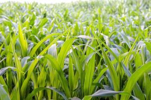 closeup de campo de milho foto