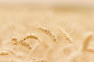 orelha de trigo