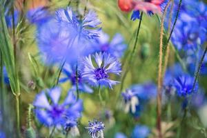 flores de milho no verão foto