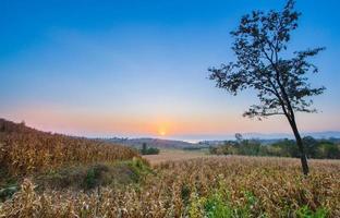 campo de milho ao pôr do sol foto
