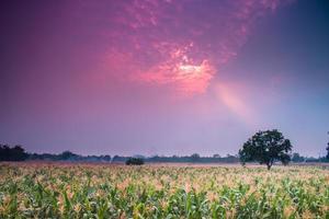 campo de milho foto