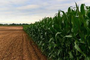 campo de milho ao entardecer foto