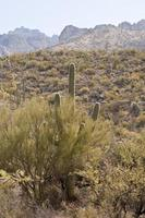 paisagem do deserto - 1 cacto, sagebrush com montanhas foto