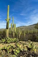 cacto gigante saguaro no parque nacional saguaro, arizona