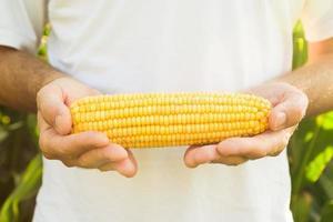 agricultor segurando milho espiga de milho foto