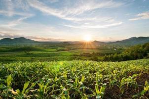 pôr do sol no campo de milho