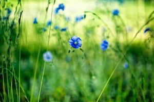 flor de milho azul foto