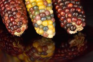 colheita de milho indiano foto