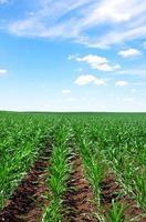 campo de milho e céu azul foto