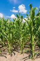 campo de milho verde foto