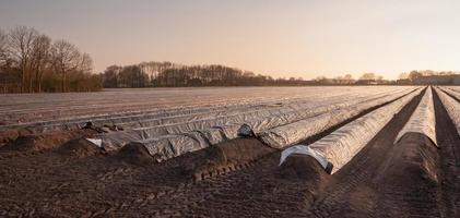 campo de espargos na baixa luz do sol da tarde foto