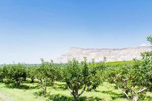 Pomar de macieiras foto