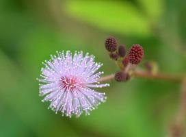 grama florescendo foto