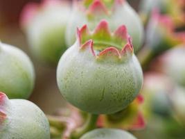 macro de mirtilo verde na natureza
