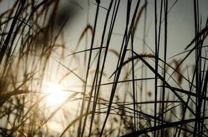 plumas de grama com gota de orvalho foto