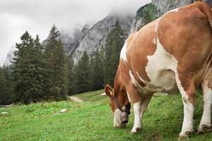 vaca pastando nas montanhas