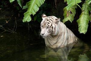 tigre branco na água foto