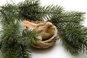 pássaro com ramo de abeto foto