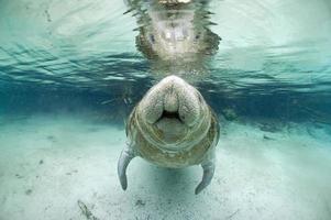 peixe-boi 9 foto