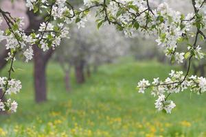 pomar de primavera.