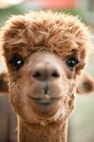 cabeça de alpaca foto