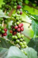 grãos de café verdes e vermelhos foto