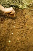 plantio de sementes de ervilha foto