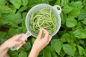 mão colhendo feijão verde fresco do jardim