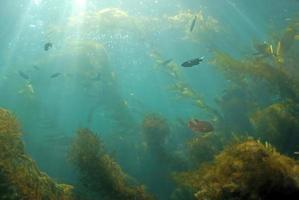 paisagem da floresta de algas foto