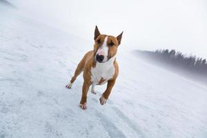 bullterrier na paisagem gelada foto